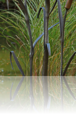 Forged Bullrushes (mark Prouse Kunstschmied)
